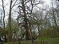 Gnarled tree - geograph.org.uk - 387141.jpg