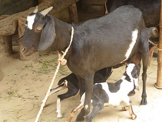 Goat kid Goat kid in char of Sirajganj, Bangladesh 05.jpg