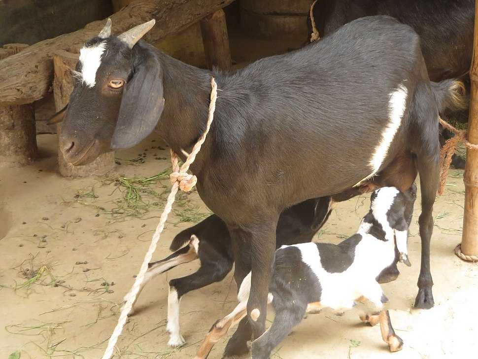 Goat kid in char of Sirajganj, Bangladesh 05