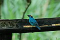 Golden-naped Tanager 2015-06-07 (4) (39419925805).jpg