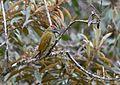Golden-olive Woodpecker (25034626602).jpg