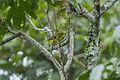 Golden Vireo - Oaxaca - Mexico S4E8891 (22383409183).jpg
