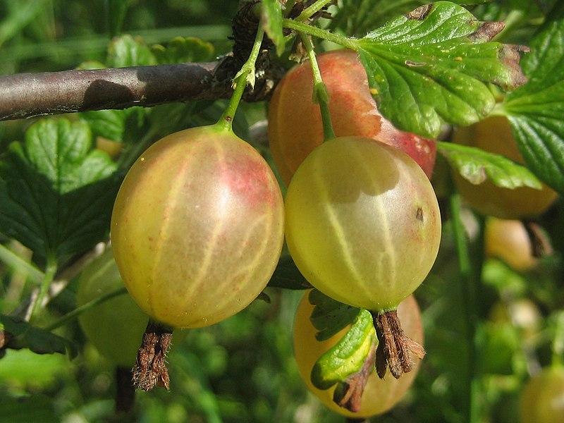 File:Gooseberries.JPG