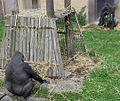 Gorillas Edinburgh Zoo 2004 SMC.jpg