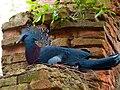 Goura victoria -Disney's Animal Kingdom, Orlando, Florida, USA -nest-8.jpg