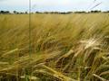 Grain 2 WMC.png