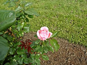 Grandiflora - Queen Elisabeth 11 (b).JPG