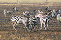 Grant's Zebra, fighting, Serengeti.jpg