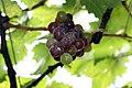 Grape Plant and grapes7.jpg