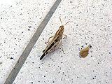 Grasshopper-GR-0a.jpg