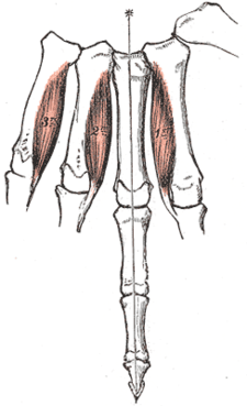 musculi interossei palmares