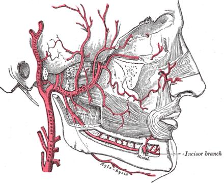 Arteria alveolaris inferior - Wikiwand
