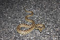 Great Basin Gopher Snake.jpg