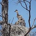 Great Blue Heron (34090983444).jpg