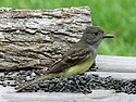 Great Crested Flycatcher RWD3.jpg