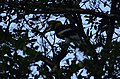 Great Hornbills from Anamalai Tiger Reserve JEG1733.JPG