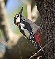 Great spotted woodpecker (50247074986).jpg
