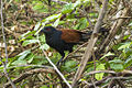 Greater Coucal - Kang Kra Chan - Thailand S4E5424 (14269740441) (2).jpg