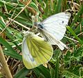 Green-veined Whites mating. - Flickr - gailhampshire.jpg