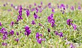 Green-winged Orchids (34253933772).jpg