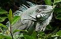 Green Iguana (Iguana iguana) - Flickr - berniedup.jpg