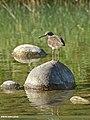 Green Sandpiper (Tringa ochropus) (31520222080).jpg
