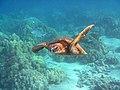 Green Sea Turtle (37640310591).jpg