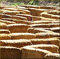 Green Spot Farm, Maze 10-26-13b (10561276606).jpg