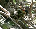 Green barred woodpecker - Flickr - Lip Kee.jpg