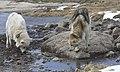 Greenland sledge dogs - panoramio.jpg