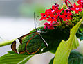 Greta Oto (Glasswing) Butterfly (6917392843).jpg