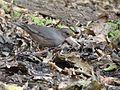 Grey-winged Blackbird - Turdus boulboul DSC01347.jpg