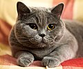 Grey British Shorthair with yellow eyes.jpg