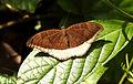 Grey Count Tanaecia lepidea by Dr. Raju Kasambe DSCN2745 (10).JPG