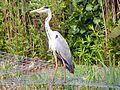 Grey Heron (Ardea cinerea) (5789853728).jpg