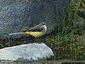 Grey Wagtail (Motacilla cinerea) (15902421852).jpg