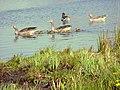 Greylag Geese, Reeuwijkse plassen 09-04-07 - panoramio.jpg
