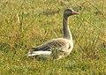 Greylag Goose Anser anser by Dr. Raju Kasambe DSCN7305 (3).jpg
