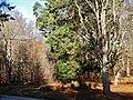 Grillplatz mit Riesenmammutbaum Sequoia, Sequoiadendron giganteum im Naturpark Schönbuch - panoramio.jpg