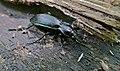 Ground Beetle (Carabus violaceus purpurascens) (35379517031).jpg