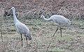 Grus canadensis (Sandhill Crane) 35.jpg