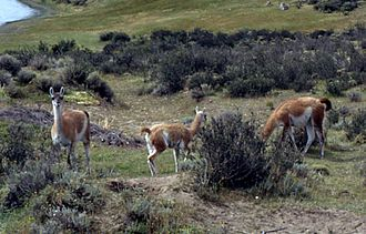 Alpaca - Guanacos (wild parent species of llamas) near Torres del Paine, Chile