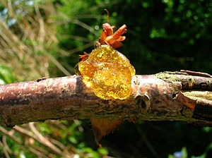 Prunus - Cherries are prone to gummosis.