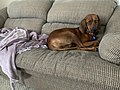 Gypsy, a one year old female Redbone Coonhound.jpg