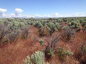 Bromus tectorum - A sagebrush ecosystem in southern Idaho after Bromus tectorum has established