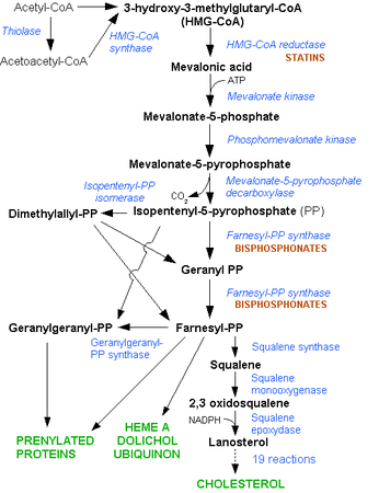 Cholesterol synthesis pathway