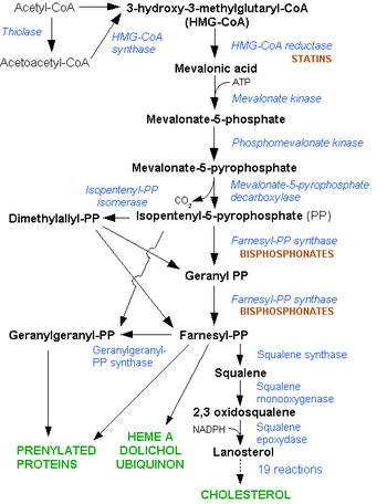 The HMG-CoA reductase pathway, which is blocke...