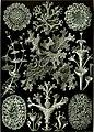 Haeckel Lichenes.jpg