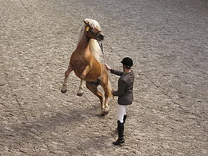 Rearing (horse) - A rearing horse handled by a person on the ground.