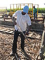 Haitiano braceros.jpg